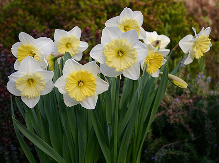 Narcis ´Ice Folies´ - cibule 1ks