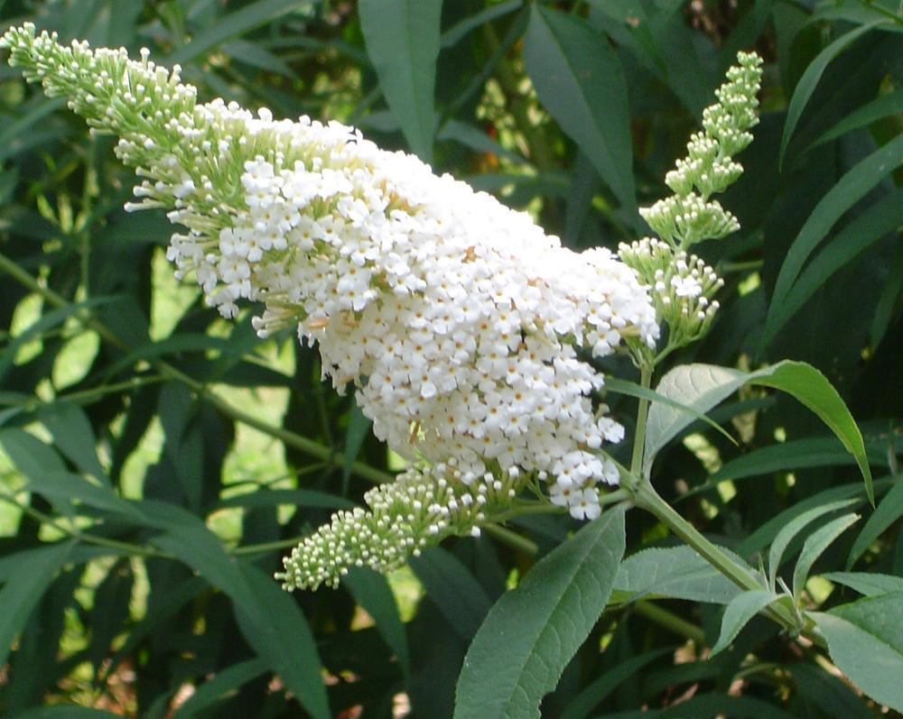 Buddleja davidii ´White Ball´