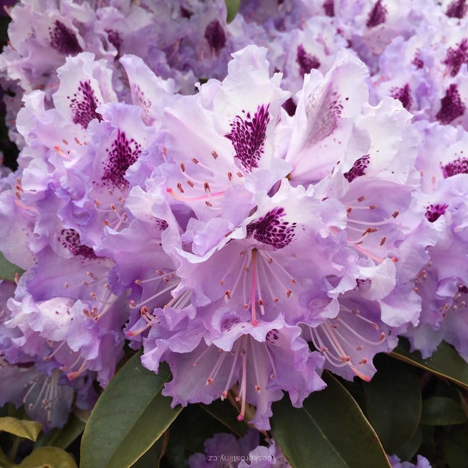 Rhododendron ´BLUE PETER´