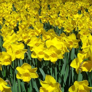 Narcis ´Dutch Master´ - cibule 1ks